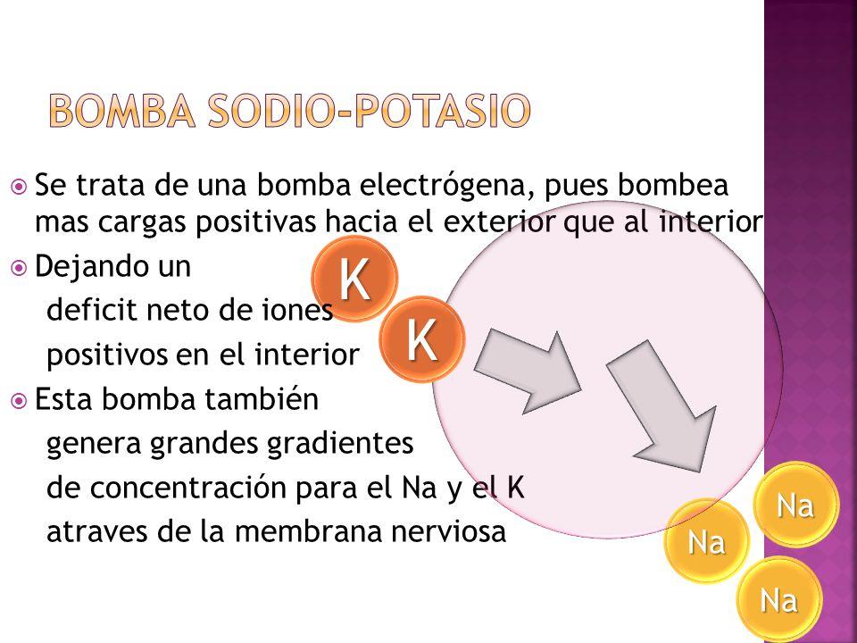 Na K Se trata de una bomba electrógena, pues bombea mas cargas positivas hacia el exterior que al interior Dejando un deficit neto de iones positivos