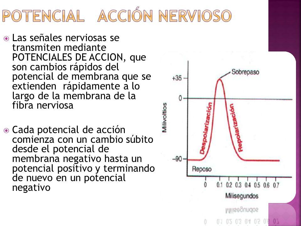Las señales nerviosas se transmiten mediante POTENCIALES DE ACCION, que son cambios rápidos del potencial de membrana que se extienden rápidamente a l