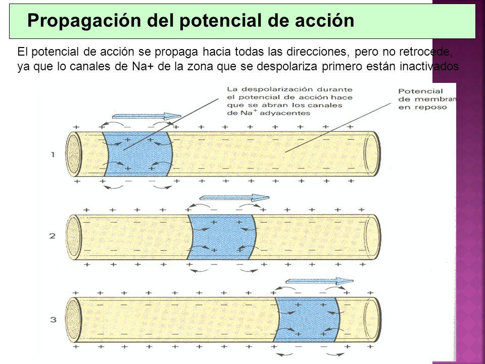 Propagación del potencial de acción El potencial de acción se propaga hacia todas las direcciones, pero no retrocede, ya que lo canales de Na+ de la z