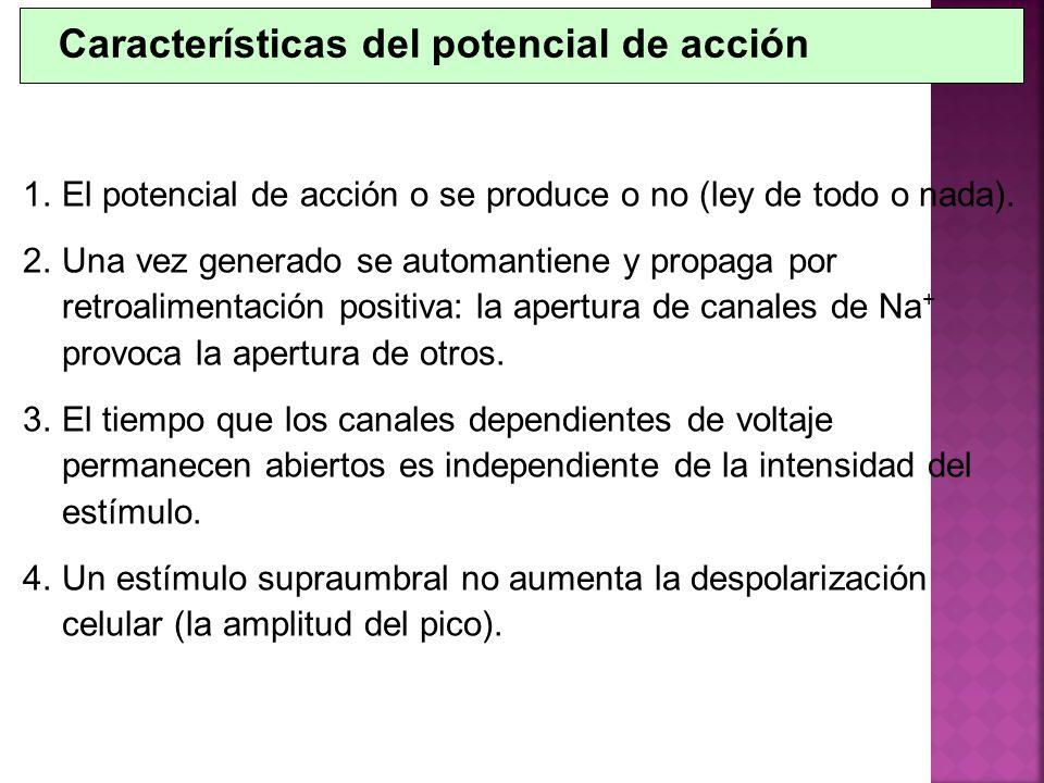 1.El potencial de acción o se produce o no (ley de todo o nada). 2.Una vez generado se automantiene y propaga por retroalimentación positiva: la apert