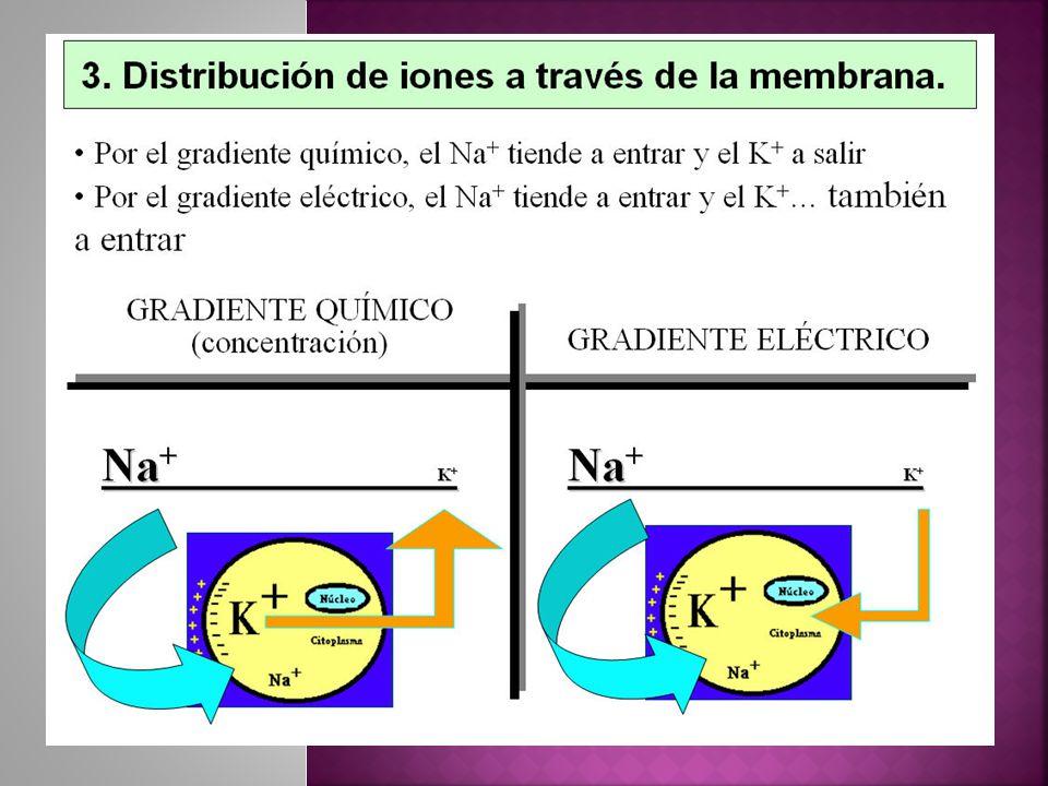 Na K Se trata de una bomba electrógena, pues bombea mas cargas positivas hacia el exterior que al interior Dejando un deficit neto de iones positivos en el interior Esta bomba también genera grandes gradientes de concentración para el Na y el K atraves de la membrana nerviosa Na Na K