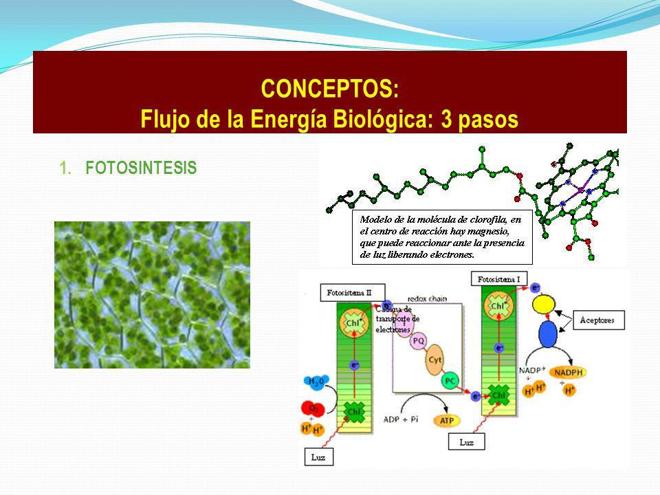 1. FOTOSINTESIS CONCEPTOS: Flujo de la Energía Biológica: 3 pasos