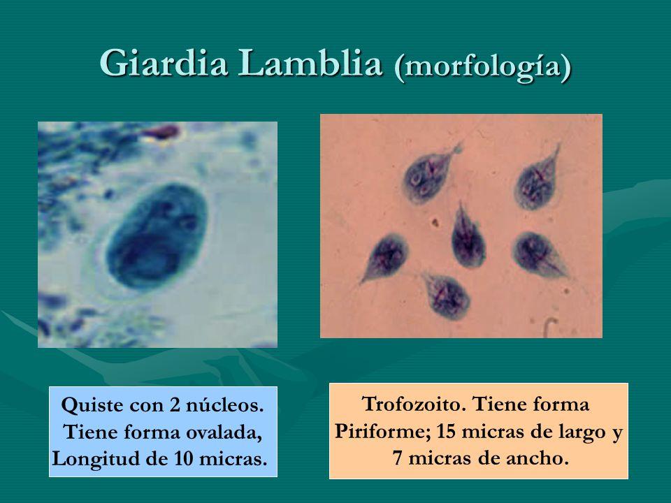 Giardia Lamblia (morfología) Quiste con 2 núcleos. Tiene forma ovalada, Longitud de 10 micras. Trofozoito. Tiene forma Piriforme; 15 micras de largo y