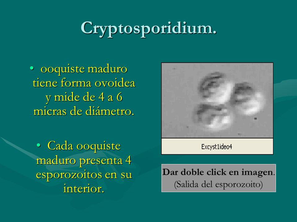 Cryptosporidium. ooquiste maduro tiene forma ovoidea y mide de 4 a 6 micras de diámetro.ooquiste maduro tiene forma ovoidea y mide de 4 a 6 micras de