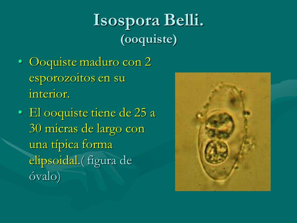 Isospora Belli. (ooquiste) Ooquiste maduro con 2 esporozoitos en su interior.Ooquiste maduro con 2 esporozoitos en su interior. El ooquiste tiene de 2