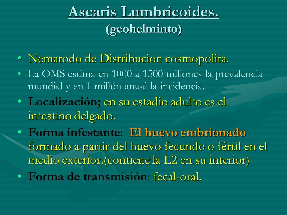 Ascaris Lumbricoides. (geohelminto) Nematodo de Distribucion cosmopolita.Nematodo de Distribucion cosmopolita. La OMS estima en 1000 a 1500 millones l