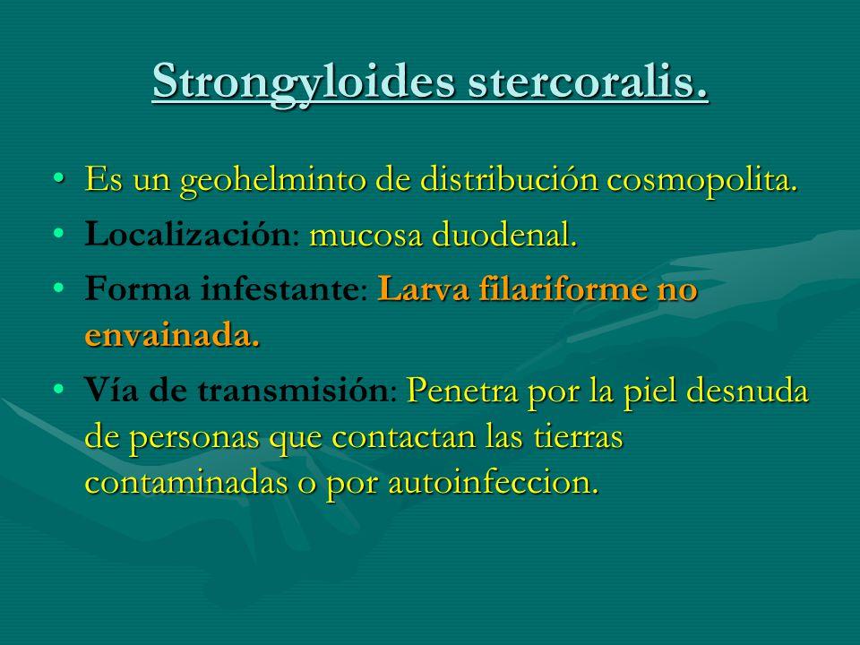 Strongyloides stercoralis. Es un geohelminto de distribución cosmopolita.Es un geohelminto de distribución cosmopolita. mucosa duodenal.Localización: