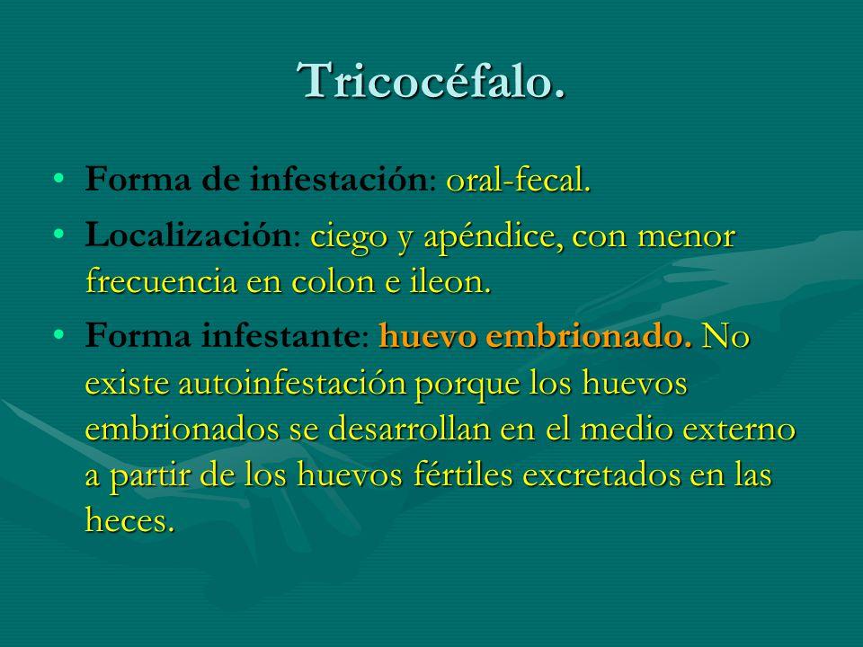 Tricocéfalo. oral-fecal.Forma de infestación: oral-fecal. ciego y apéndice, con menor frecuencia en colon e ileon.Localización: ciego y apéndice, con