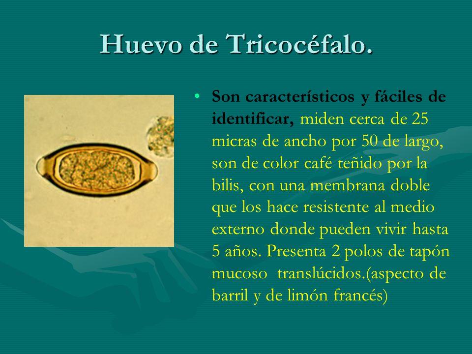 Huevo de Tricocéfalo. Son característicos y fáciles de identificar, miden cerca de 25 micras de ancho por 50 de largo, son de color café teñido por la