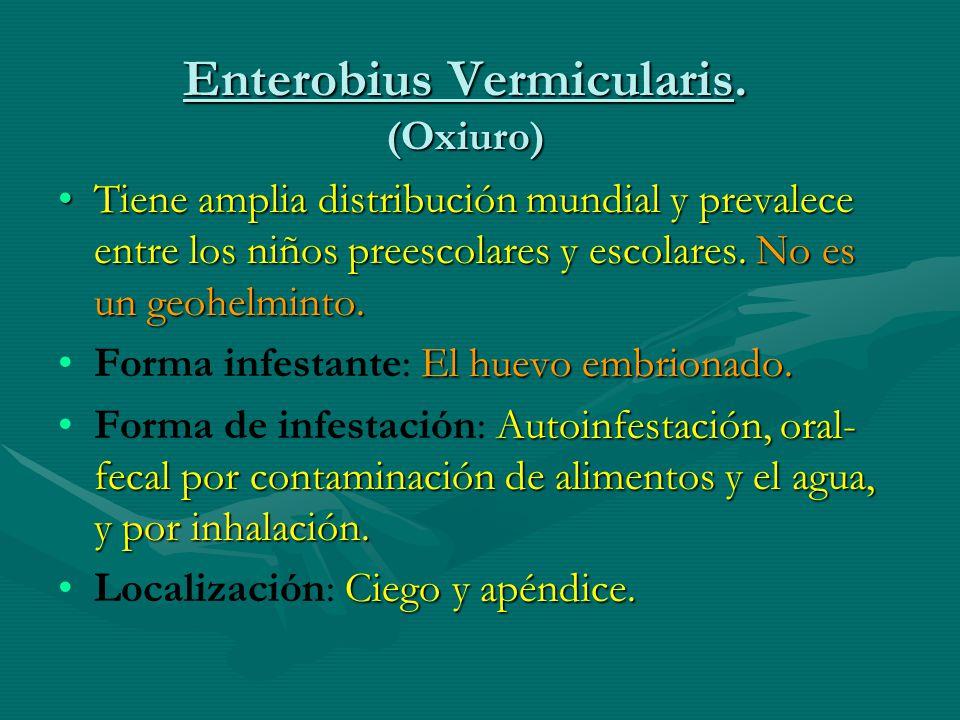 Enterobius Vermicularis.