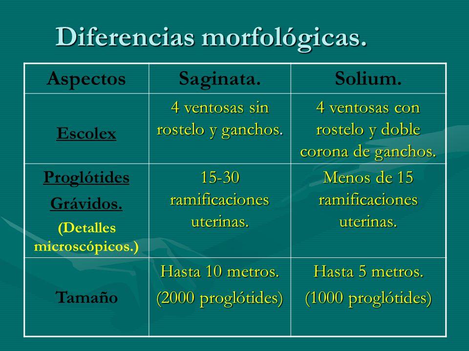 Diferencias morfológicas.AspectosSaginata.Solium.
