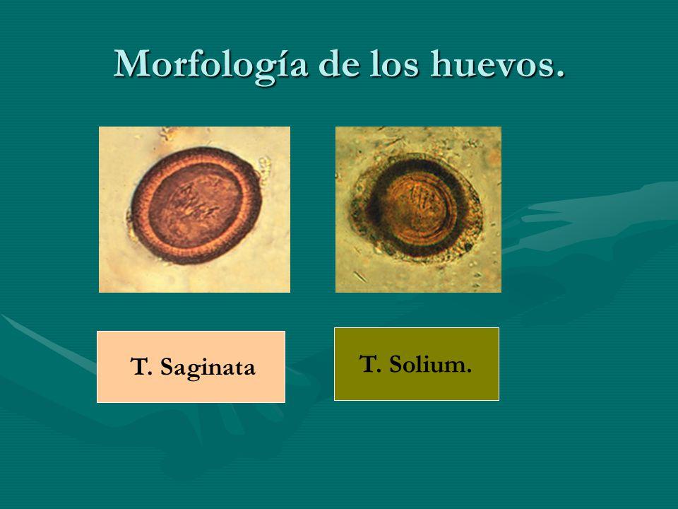 Morfología de los huevos. T. Saginata T. Solium.