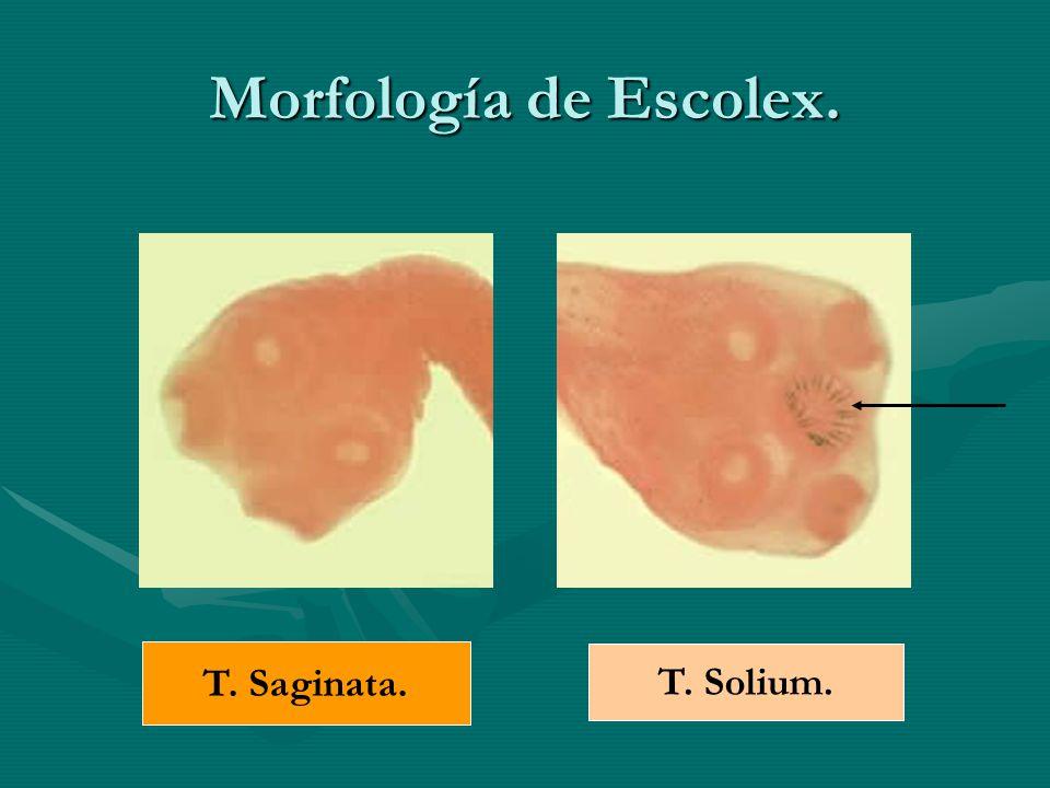 Morfología de Escolex. T. Saginata. T. Solium.