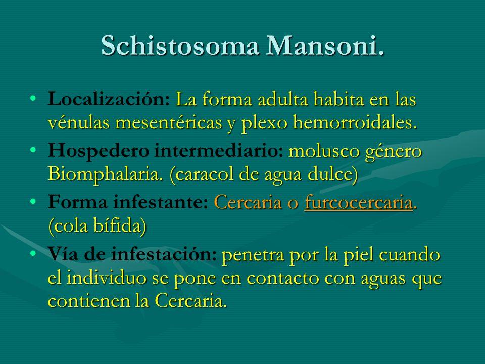 Schistosoma Mansoni. La forma adulta habita en las vénulas mesentéricas y plexo hemorroidales.Localización: La forma adulta habita en las vénulas mese