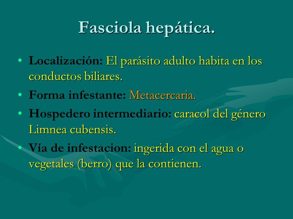Fasciola hepática. El parásito adulto habita en los conductos biliares.Localización: El parásito adulto habita en los conductos biliares. Metacercaria