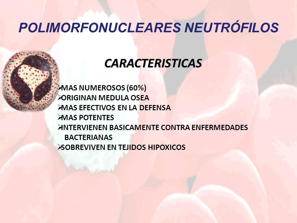 POLIMORFONUCLEARES NEUTRÓFILOS CARACTERISTICAS MAS NUMEROSOS (60%) ORIGINAN MEDULA OSEA MAS EFECTIVOS EN LA DEFENSA MAS POTENTES INTERVIENEN BASICAMENTE CONTRA ENFERMEDADES BACTERIANAS SOBREVIVEN EN TEJIDOS HIPOXICOS