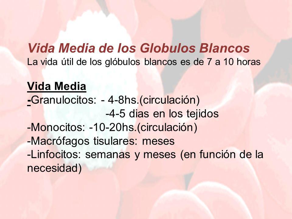 Vida Media de los Globulos Blancos La vida útil de los glóbulos blancos es de 7 a 10 horas Vida Media -Granulocitos: - 4-8hs.(circulación) -4-5 dias en los tejidos -Monocitos: -10-20hs.(circulación) -Macrófagos tisulares: meses -Linfocitos: semanas y meses (en función de la necesidad)