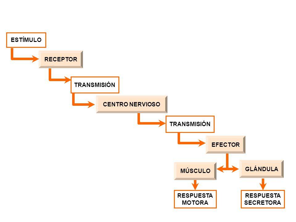 RECEPTOR TRANSMISIÓN EFECTORCENTRO NERVIOSOMÚSCULOGLÁNDULA ESTÍMULO RESPUESTA MOTORA RESPUESTA SECRETORA TRANSMISIÓN