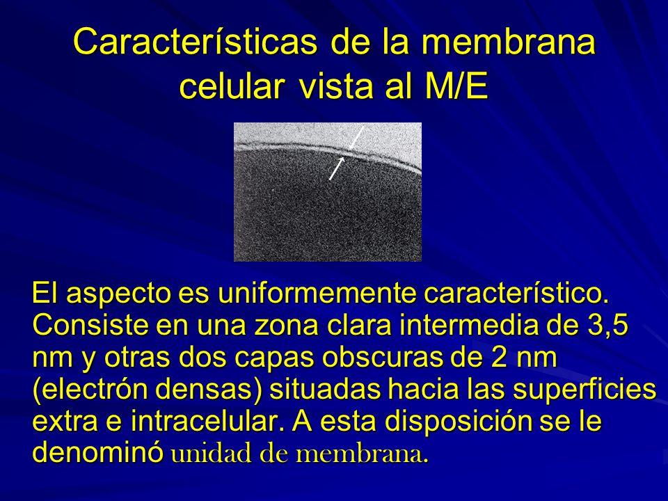 Características de la membrana celular vista al M/E El aspecto es uniformemente característico. Consiste en una zona clara intermedia de 3,5 nm y otra