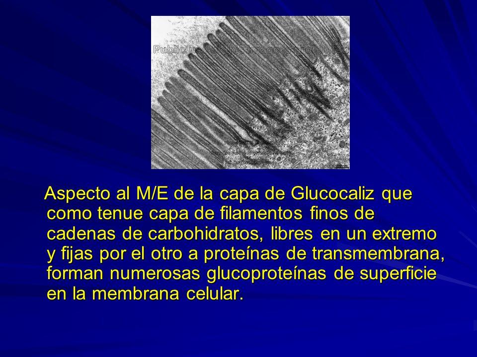 Aspecto al M/E de la capa de Glucocaliz que como tenue capa de filamentos finos de cadenas de carbohidratos, libres en un extremo y fijas por el otro