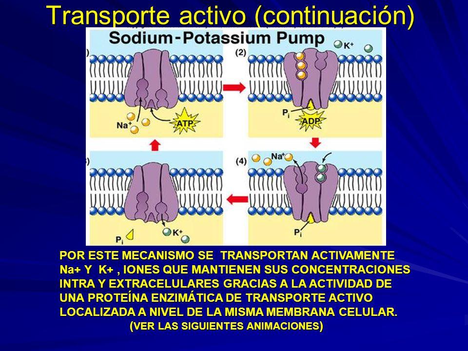 Transporte activo (continuación) POR ESTE MECANISMO SE TRANSPORTAN ACTIVAMENTE Na+ Y K+, IONES QUE MANTIENEN SUS CONCENTRACIONES INTRA Y EXTRACELULARE