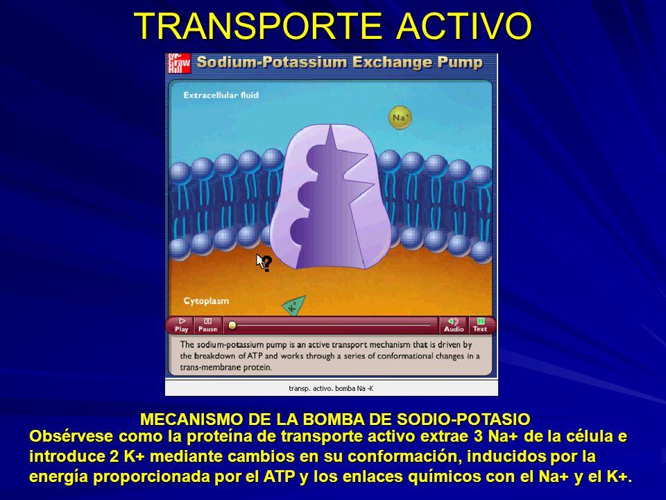 TRANSPORTE ACTIVO Obsérvese como la proteína de transporte activo extrae 3 Na+ de la célula e introduce 2 K+ mediante cambios en su conformación, indu
