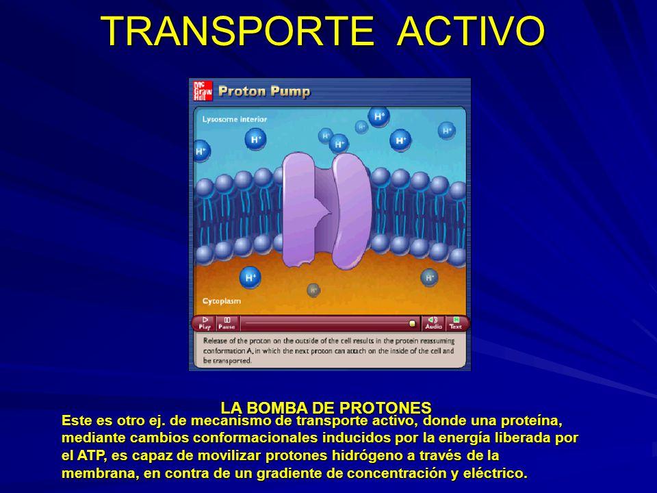 TRANSPORTE ACTIVO LA BOMBA DE PROTONES Este es otro ej. de mecanismo de transporte activo, donde una proteína, mediante cambios conformacionales induc