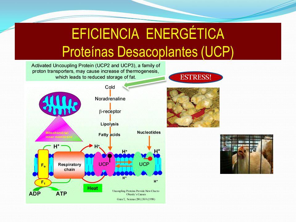 ESTRESS! EFICIENCIA ENERGÉTICA Proteínas Desacoplantes (UCP)