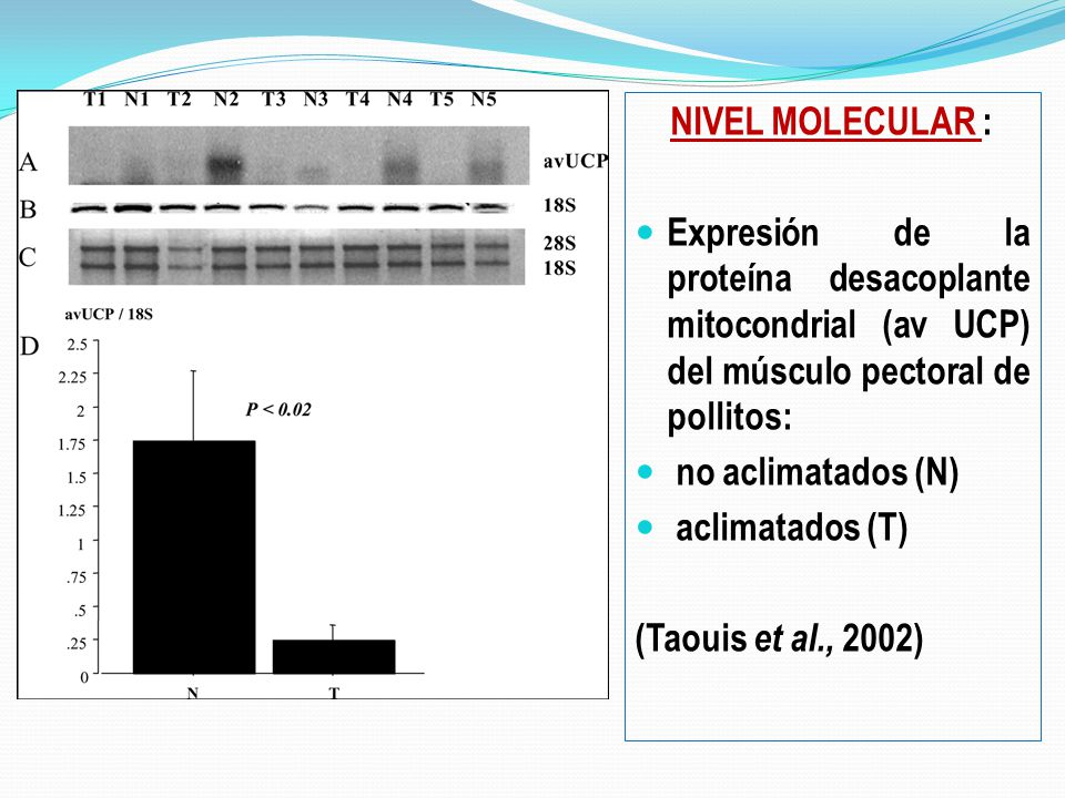 NIVEL MOLECULAR : Expresión de la proteína desacoplante mitocondrial (av UCP) del músculo pectoral de pollitos: no aclimatados (N) aclimatados (T) (Taouis et al., 2002)