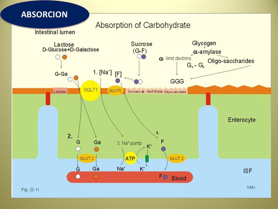 SINTESIS DE GLUCOSA A PARTIR DEL PROPIONATO EN RUMIANTES Los AGV sintetizados en el rumen son utilizados como fuente de energia con excepcion del acido propionico que es la principal fuente de glucosa para los rumiantes Aproximadamente el 90 % del propionato es absorbido y transportado via sanguinea hacia el higado (el 10 % se convierte en lactato a nivel de pared ruminal) En rumiantes de 27 a 55 % del propionato se convierte en glucosa (varia por el tipo de dieta) en el tejido hepatico.