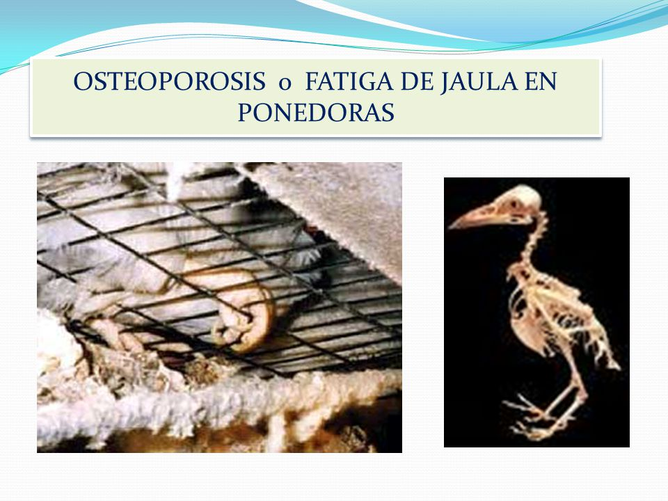 OSTEOPOROSIS Osteoporosis in laying hens is defined as a decrease in the amount of fully mineralized structural bone, leading to increased fragility a