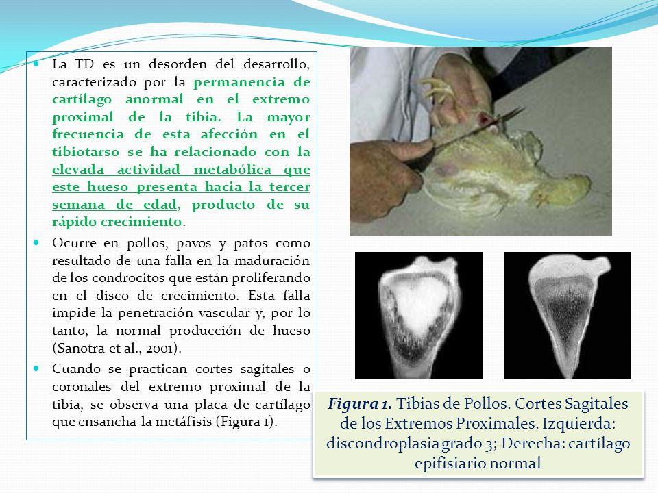 La discondroplasia tibial (TD) forma parte de un conjunto de alteraciones esqueléticas de las aves de corral producidas en forma intensiva, que entrañ