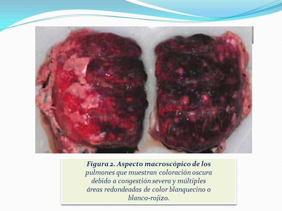 Figura 1. Aspecto macroscópico de un animal en el que se aprecia buen estado de carne y severa ascitis compuesta por material de aspecto gelatinoso. F