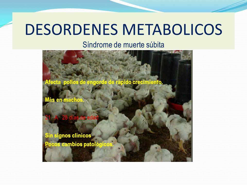Afecta pollos de engorde de rápido crecimiento.Más en machos.