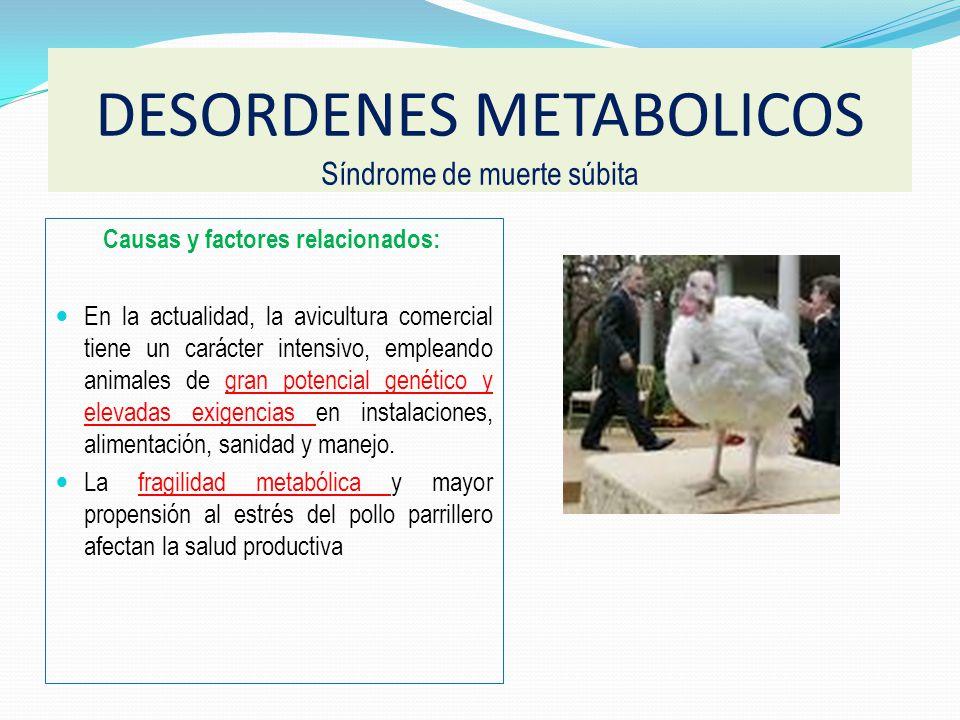 Afecta pollos de engorde de rápido crecimiento. Más en machos. 21 A 28 días de edad Sin signos clínicos Pocos cambios patológicos. DESORDENES METABOLI