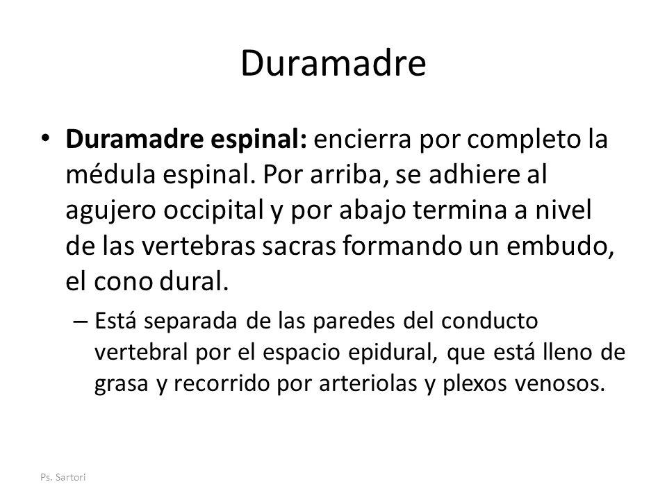 Duramadre Duramadre espinal: encierra por completo la médula espinal. Por arriba, se adhiere al agujero occipital y por abajo termina a nivel de las v