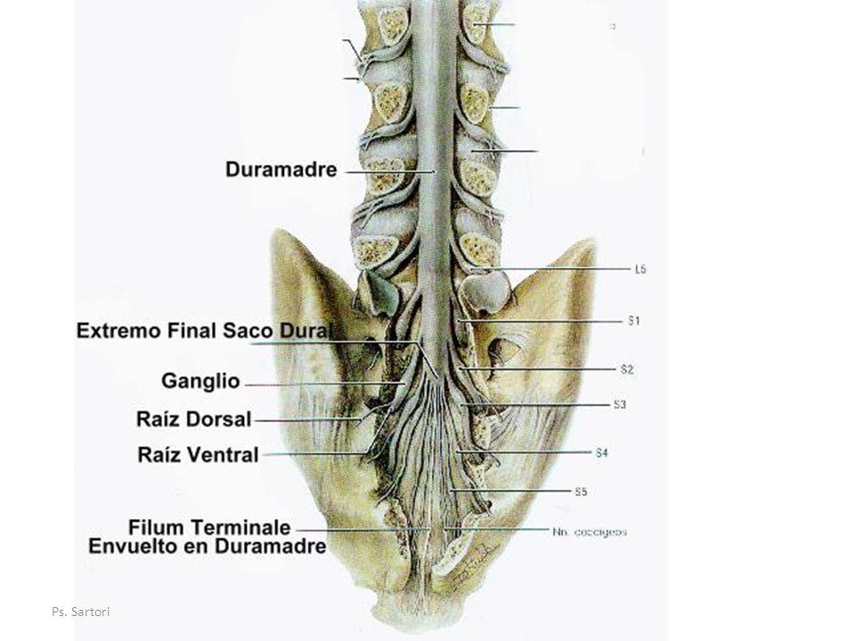 Aracnoides Es la membrana media, situada entre la duramadre y la aracnoides.