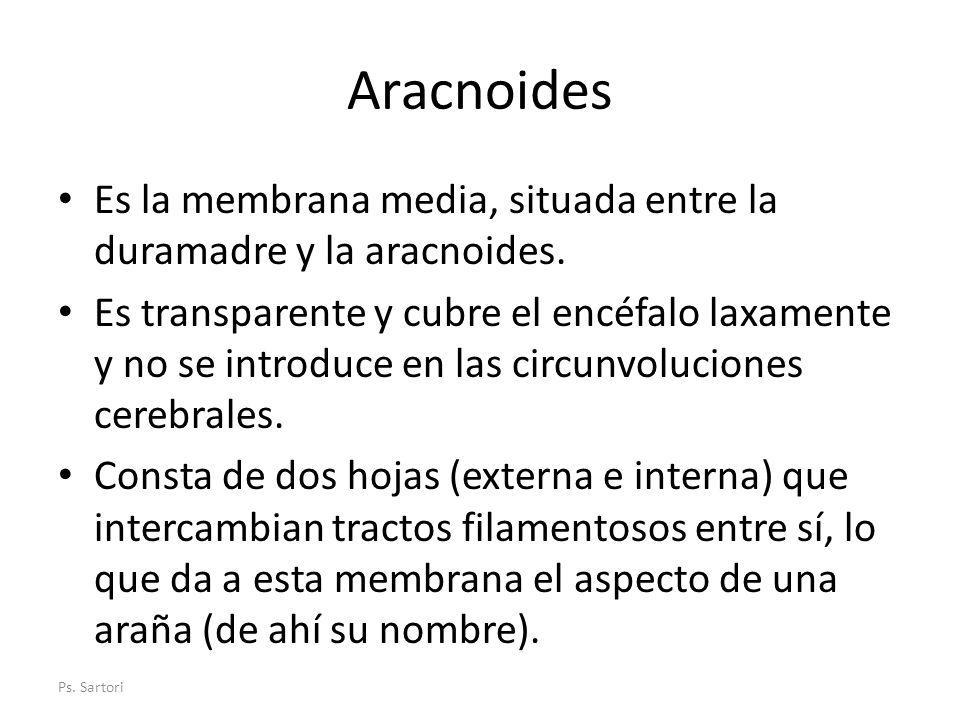 Aracnoides Es la membrana media, situada entre la duramadre y la aracnoides. Es transparente y cubre el encéfalo laxamente y no se introduce en las ci