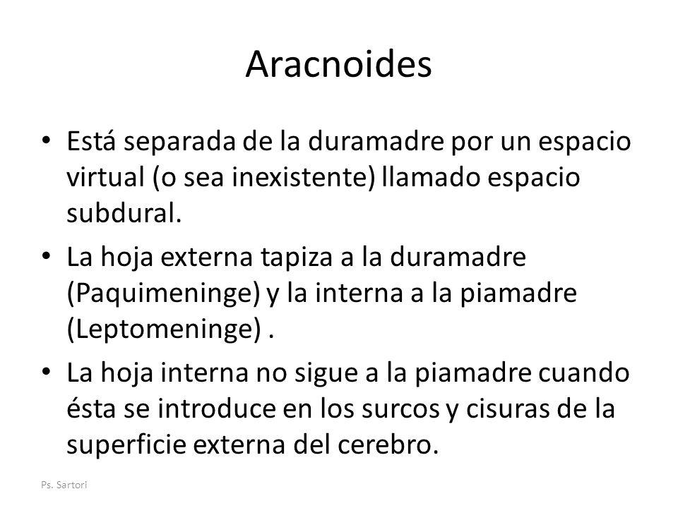 Aracnoides Está separada de la duramadre por un espacio virtual (o sea inexistente) llamado espacio subdural. La hoja externa tapiza a la duramadre (P
