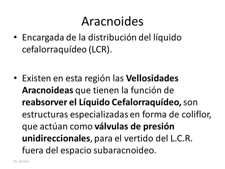 Aracnoides Encargada de la distribución del líquido cefalorraquídeo (LCR). Existen en esta región las Vellosidades Aracnoideas que tienen la función d