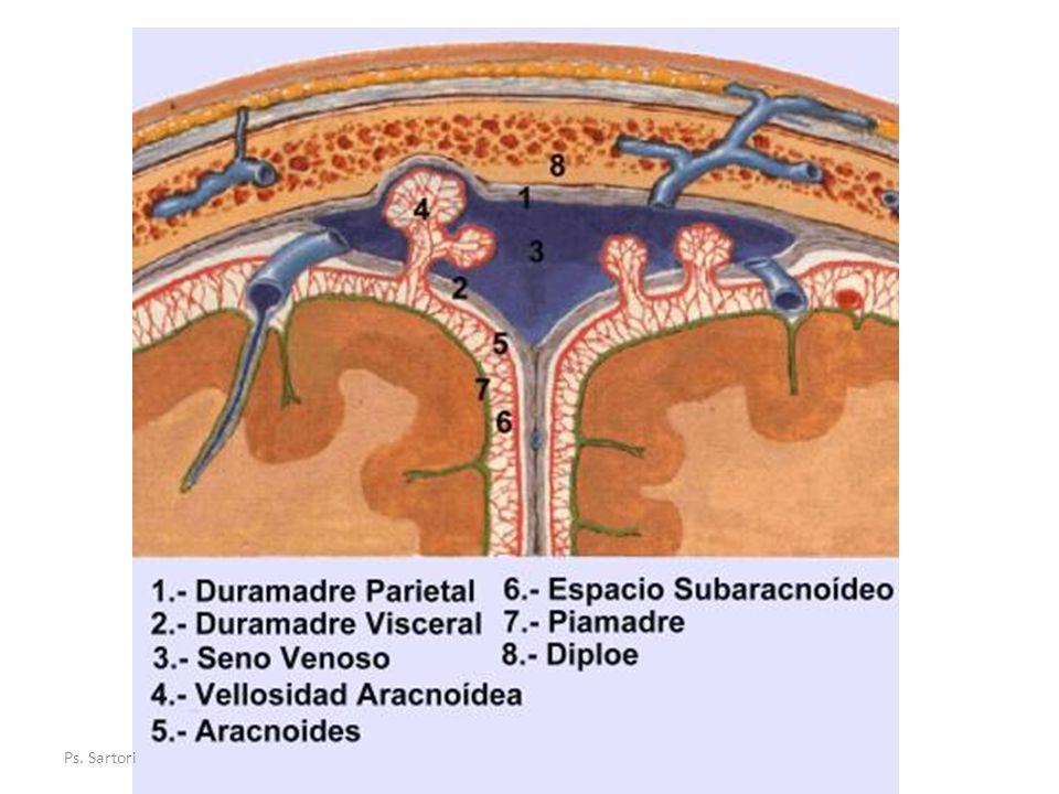 Piamadre Membrana mas interna, fina y ricamente vascularizada y linfática.
