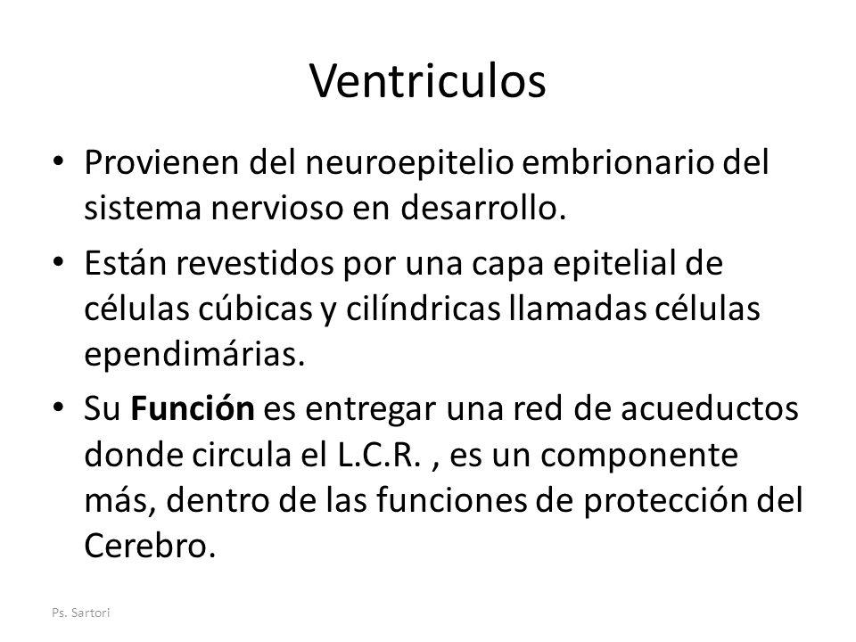 Ventriculos Provienen del neuroepitelio embrionario del sistema nervioso en desarrollo. Están revestidos por una capa epitelial de células cúbicas y c