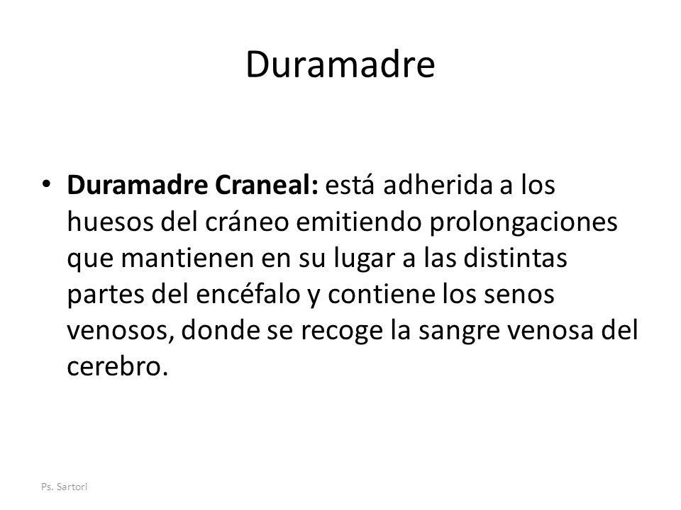 Duramadre Duramadre Craneal: está adherida a los huesos del cráneo emitiendo prolongaciones que mantienen en su lugar a las distintas partes del encéf