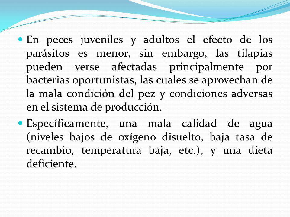En peces juveniles y adultos el efecto de los parásitos es menor, sin embargo, las tilapias pueden verse afectadas principalmente por bacterias oportunistas, las cuales se aprovechan de la mala condición del pez y condiciones adversas en el sistema de producción.