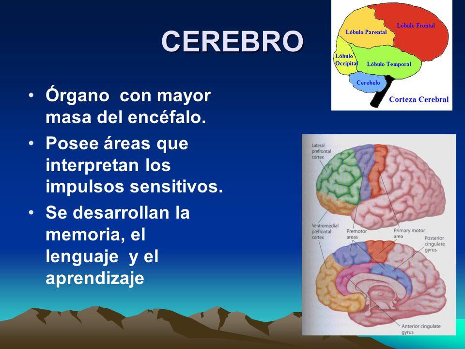 CEREBRO Órgano con mayor masa del encéfalo. Posee áreas que interpretan los impulsos sensitivos. Se desarrollan la memoria, el lenguaje y el aprendiza