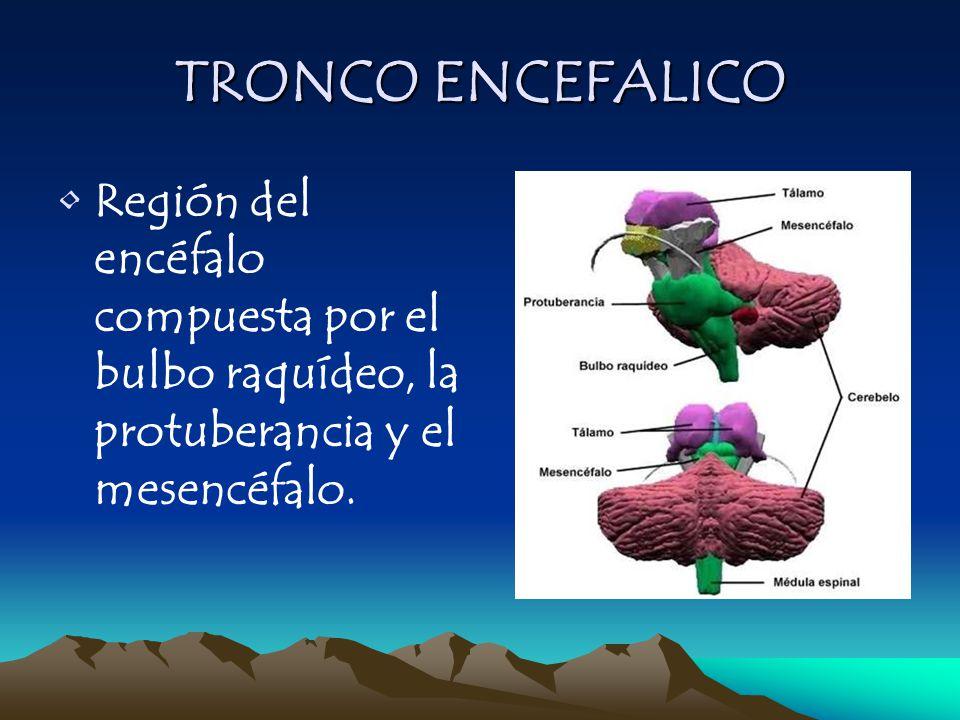 TRONCO ENCEFALICO Región del encéfalo compuesta por el bulbo raquídeo, la protuberancia y el mesencéfalo.