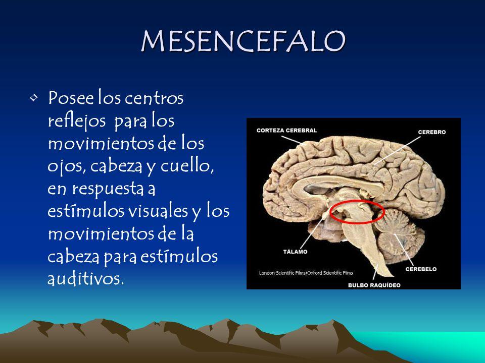 MESENCEFALO Posee los centros reflejos para los movimientos de los ojos, cabeza y cuello, en respuesta a estímulos visuales y los movimientos de la ca