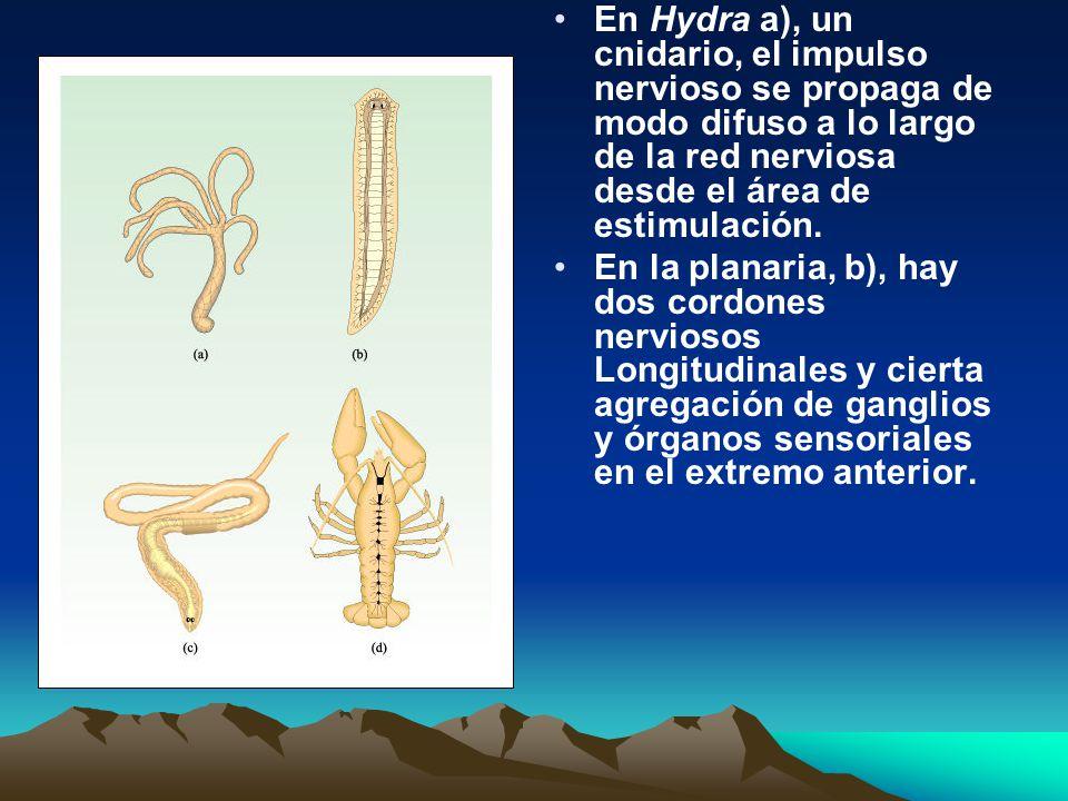 En Hydra a), un cnidario, el impulso nervioso se propaga de modo difuso a lo largo de la red nerviosa desde el área de estimulación. En la planaria, b