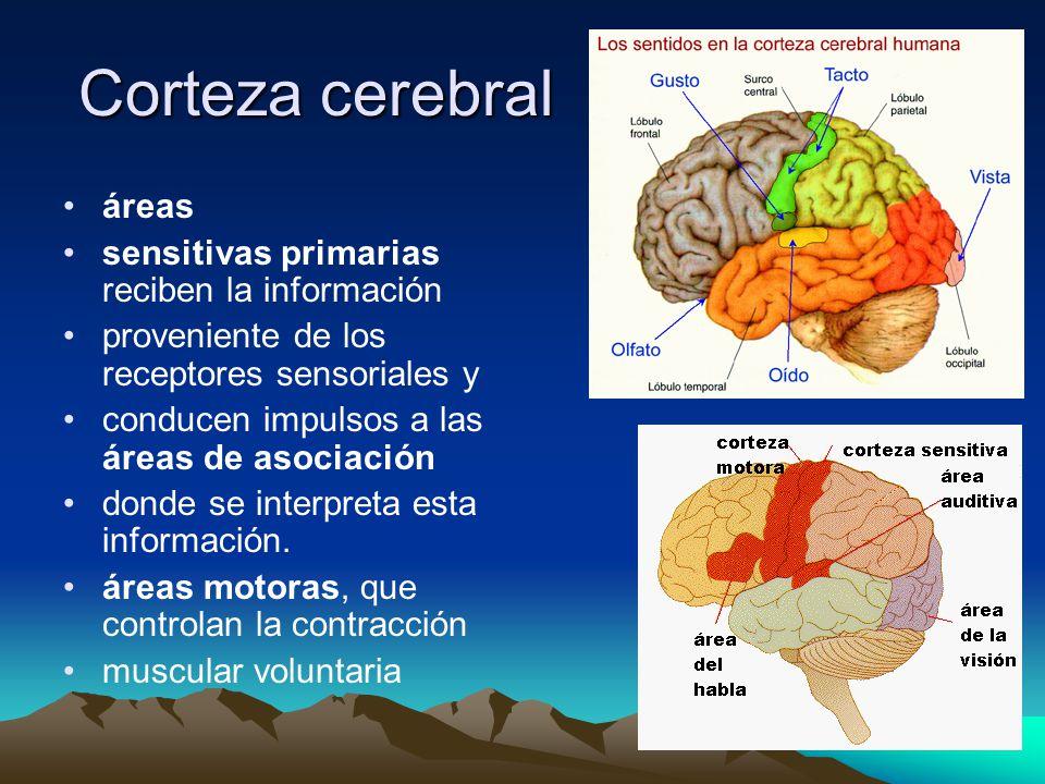 Corteza cerebral áreas sensitivas primarias reciben la información proveniente de los receptores sensoriales y conducen impulsos a las áreas de asocia
