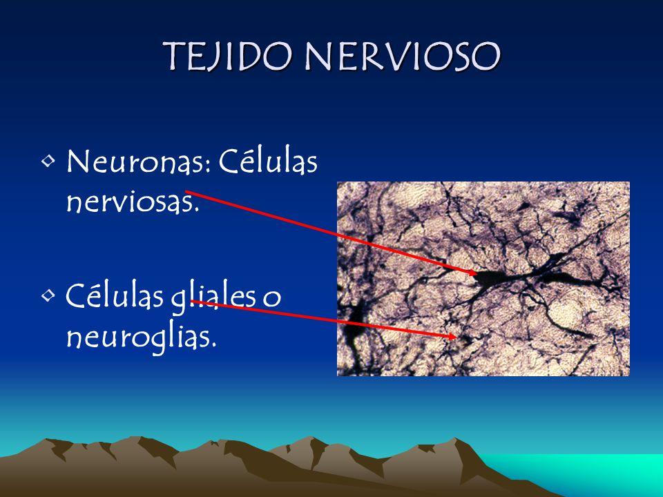Neuronas: Células nerviosas. Células gliales o neuroglias. TEJIDO NERVIOSO